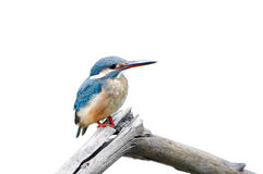 Common Kingfisher Alcedo atthis Stock Images
