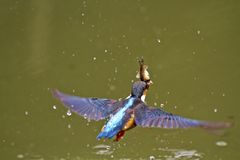 Common kingfisher,Alcedo atthis stock images