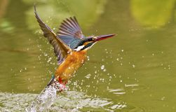 Common kingfisher,Alcedo atthis Royalty Free Stock Image