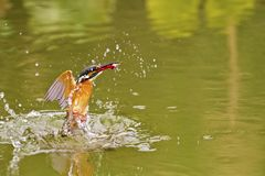 Common kingfisher,Alcedo atthis Stock Photos