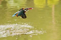 Common kingfisher,Alcedo atthis Royalty Free Stock Photos