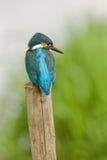Common Kingfisher (Alcedo Atthis) Royalty Free Stock Photos