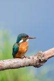 Common Kingfisher (Alcedo Atthis) Stock Photos