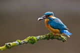 Common Kingfisher Alcedo atthis adult male Stock Photo