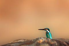 Common Kingfisher Stock Image