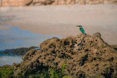 Common kingfisher Alcedo atthis bird sitting on the sea rock at Stock Photo