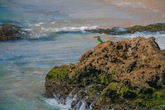 Common kingfisher Alcedo atthis bird sitting on the sea rock at Royalty Free Stock Photo