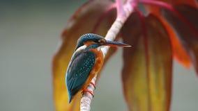 Common Kingfisher Alcedo atthis stock video