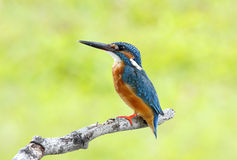 Common Kingfisher Alcedo atthis Royalty Free Stock Image
