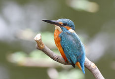 Common Kingfisher Alcedo atthis Royalty Free Stock Images