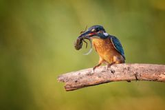 Common Kingfisher Alcedo atthis with catch sits on a beautiful background Stock Images