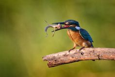 Common Kingfisher Alcedo atthis with catch sits on a beautiful background Royalty Free Stock Photography