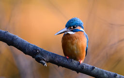 The Common Kingfisher (Alcedo atthis) Royalty Free Stock Photo