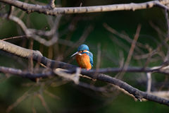 The Common Kingfisher (Alcedo atthis) Royalty Free Stock Photography