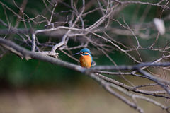 The Common Kingfisher (Alcedo atthis) Stock Images
