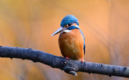 The Common Kingfisher (Alcedo atthis) Royalty Free Stock Photos
