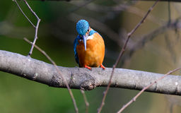 The Common Kingfisher (Alcedo atthis) Stock Photos