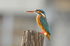 Common Kingfisher Alcedo atthis Female Birds of Thailand Stock Photography
