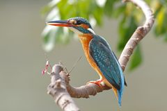 Common Kingfisher Alcedo atthis Female Cute Birds of Thailand Royalty Free Stock Image