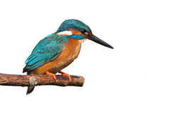 Common Kingfisher (Alcedo atthis). Royalty Free Stock Photo