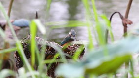 Common kingfisher alcedo atthis male birds of Thailand stock video footage