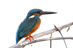 Common Kingfisher Alcedo atthis Male Cute Birds isolated. Common Kingfisher Alcedo atthis Male Cute Bird isolated royalty free stock photo