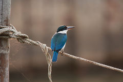 Common Kingfisher. The common kingfisher (Alcedo atthis) or river kingfisher Stock Photo