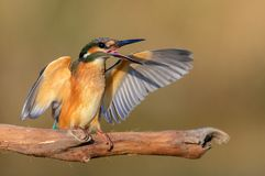 Common Kingfisher Alcedo atthis sitting with open wings royalty free stock photography