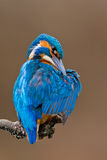 Common Kingfisher (Alcedo attis) male preening Royalty Free Stock Images