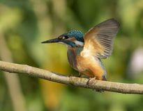 The Common kingfisher. Common kingfisher with beautiful backdrop Royalty Free Stock Photos