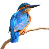 Common Kingfisher Royalty Free Stock Photos
