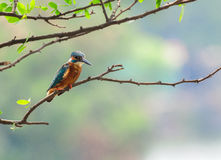 Common Kingfisher bird (Alcedo atthis) Royalty Free Stock Image