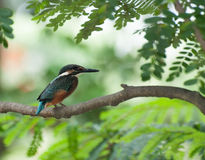 Common Kingfisher bird (Alcedo atthis) Royalty Free Stock Photography