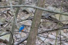 Common kingfisher. On the branch Royalty Free Stock Photos