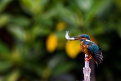 Common Kingfisher on branch to find something for eat. Common Kingfisher on branch to find something to eat Stock Images