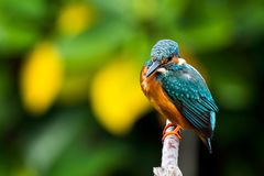 Common Kingfisher on branch to find something for eat. Common Kingfisher on branch to find something to eat Royalty Free Stock Photos