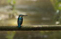 Common Kingfisher on a bumboo. After rain this kingfisher is waiting for his mil. the rain drops under the bamboo Royalty Free Stock Images