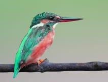 Common kingfisher royalty free stock photos