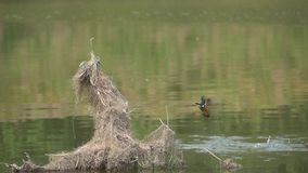 Common Kingfisher stock video footage