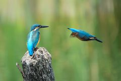 Common Kingfisher Royalty Free Stock Photo