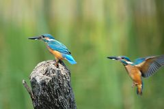 Common Kingfisher Stock Photography