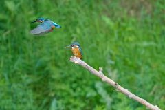 Common Kingfisher. A Common Kingfisher stands on branch and another flies over. Scientific name: Alcedo atthis Royalty Free Stock Photo
