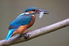 Common Kingfisher / Eisvogel Alcedo atthis. A Common Kingfisher with fish Stock Images
