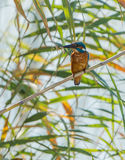 Common Kingfisher with fish Royalty Free Stock Images