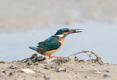 Common kingfisher with fish in beak on the ground. Close up view on blurry backgr Stock Photography