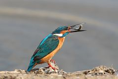 Common kingfisher with fish in beak on the ground. Common kingfisher with fish in beak sits on the ground Stock Photos