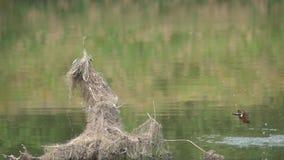 Kingfisher fishing stock video