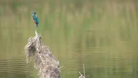 Kingfisher fishing. A Common Kingfisher is fishing in river. Scientific name: Alcedo atthis stock video
