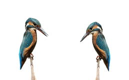 Common Kingfisher isolated on white background Royalty Free Stock Images