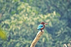 Common Kingfisher. Kingfishers are generally shy birds, but in spite of this, they mix quite heavily with human culture, generally due to the large head stock photography